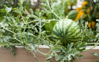 Можно ли вырастить арбуз в домашних условиях?